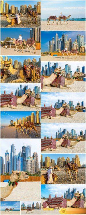 Camel in Dubai 15X JPEG