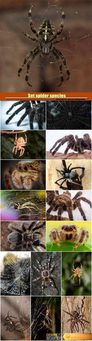 Set spider species