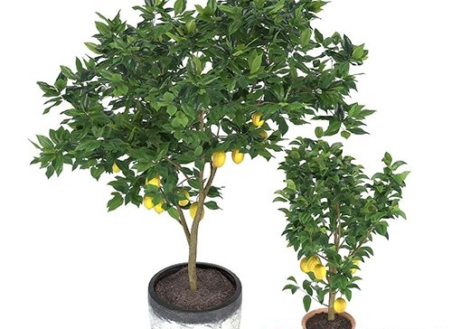 Two lemon trees