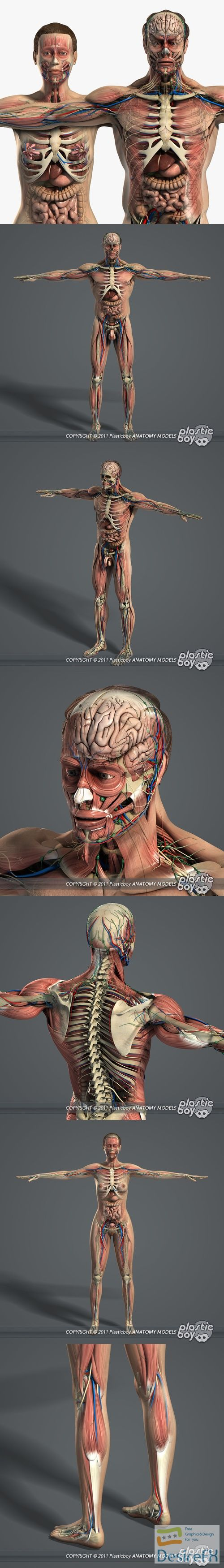 Male and Female Anatomy Complete Pack v5 3D Model