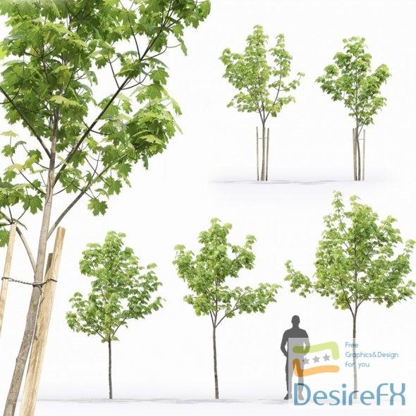Maple tree 13 3.1-4.5m